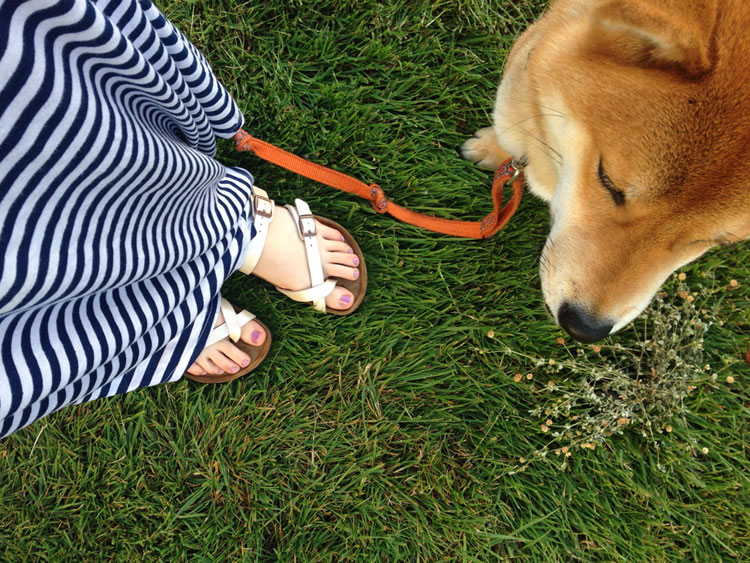 Rigby the Shiba in the Grass / hellorigby!