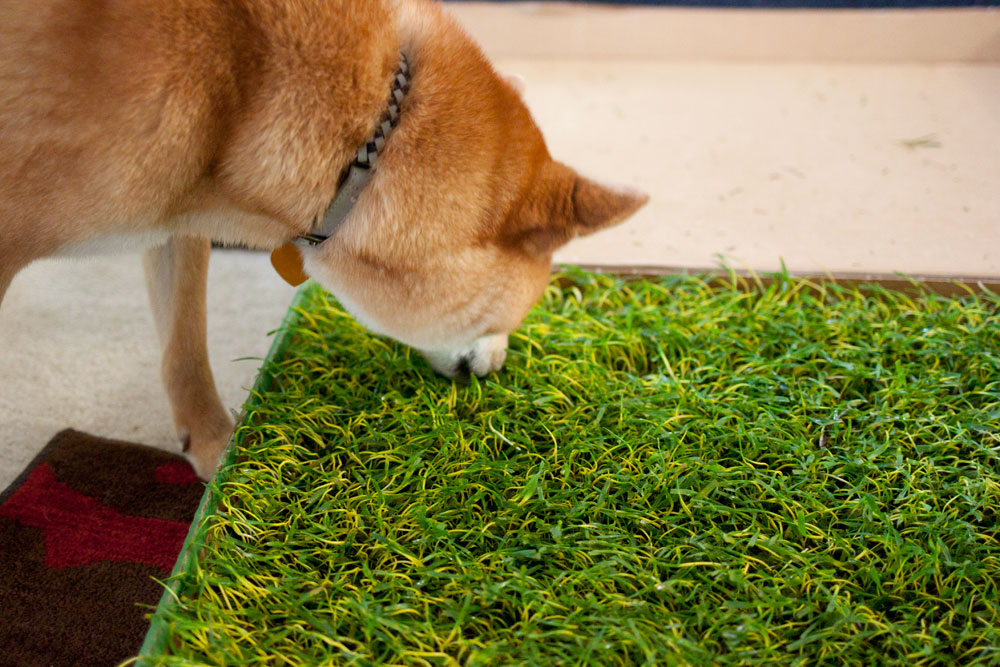 rigby the shiba inu and grass / hello, rigby!