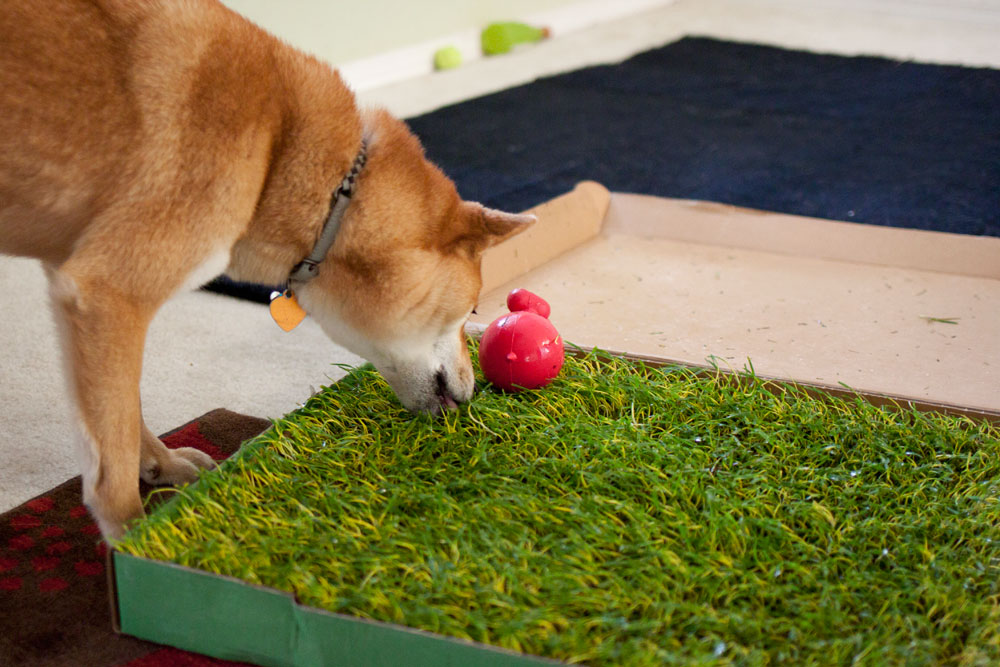 rigby the shiba and doggie lawn / hello, rigby!