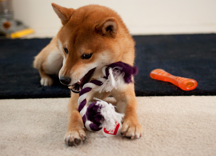 Rigby the Shiba Inu plays with his rope toy / hellorigby!