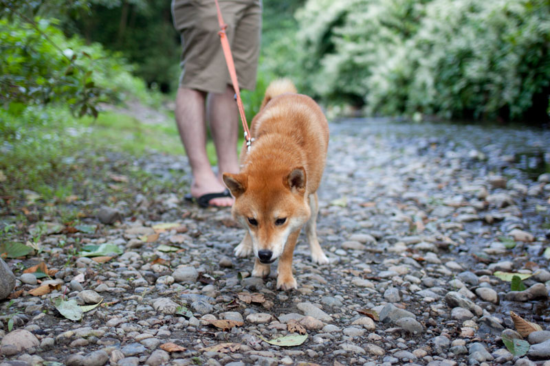 Shiba Inu Walking in Rocks by Water / hellorigby!