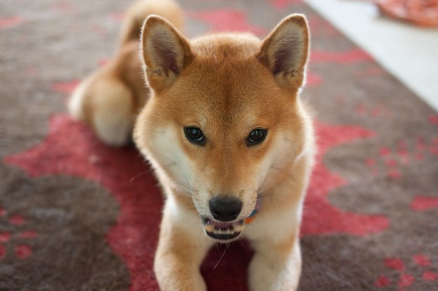 rigby-the-shiba-inu-i-and-love-and-you-review