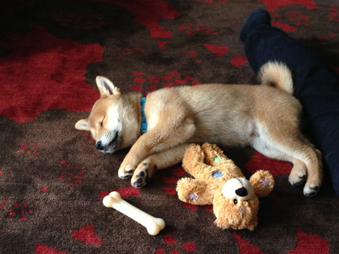 Rigby the Shiba Inu Baby Puppy with Toys Sleeping / hellorigby!