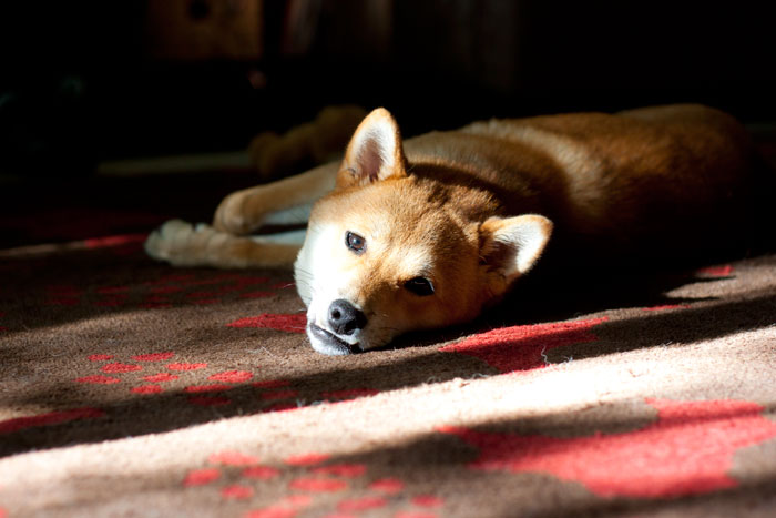Rigby the Shiba Inu in Shadows / hellorigby!