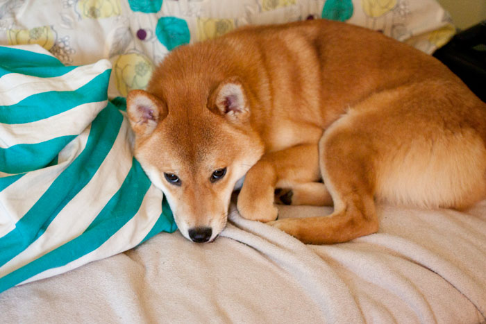 Rigby the Shiba Inu on Couch / hellorigby!