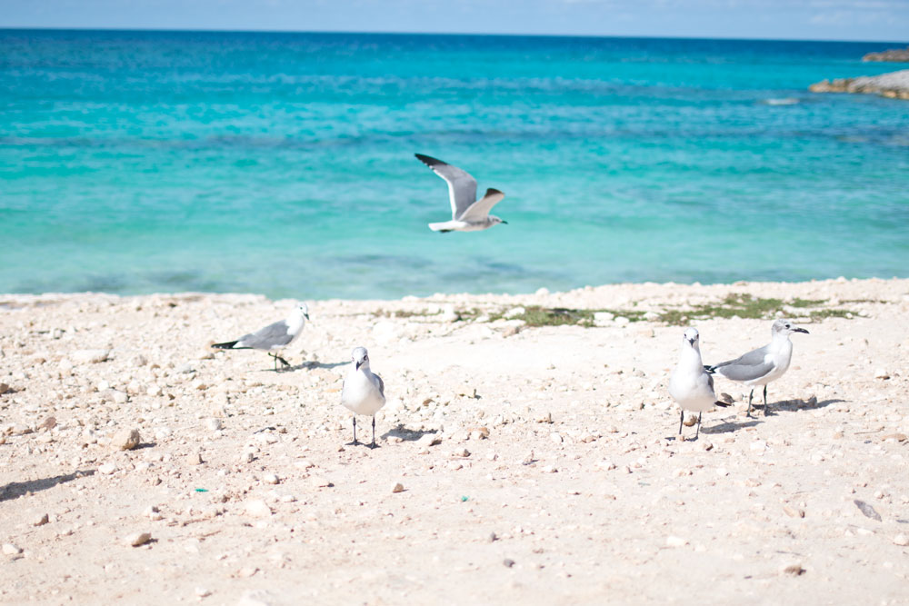 Seagulls at Great Stirrup Cay Ocean / hellorigby seattle lifestyle and fashion blog