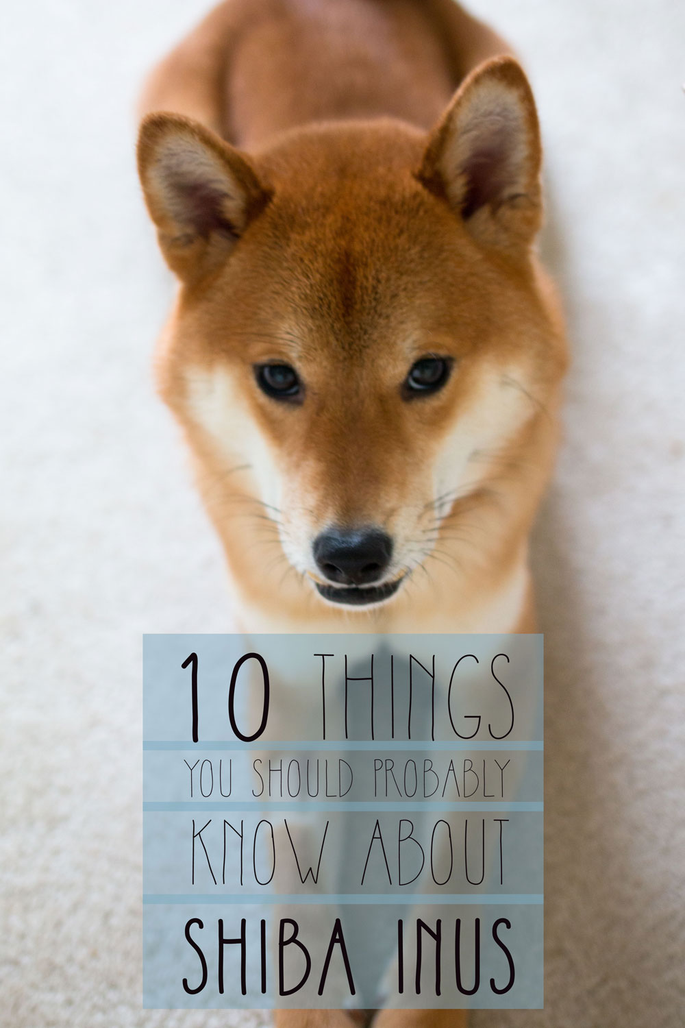10 Things You Should Know about Shiba Inus from a Shiba Owner / hellorigby seattle lifestyle and dog blog
