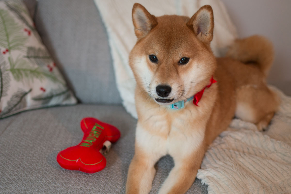 Martha Stewart Pets: Holiday Toys and Collar on Shiba Inu // hellorigby seattle lifestyle blog