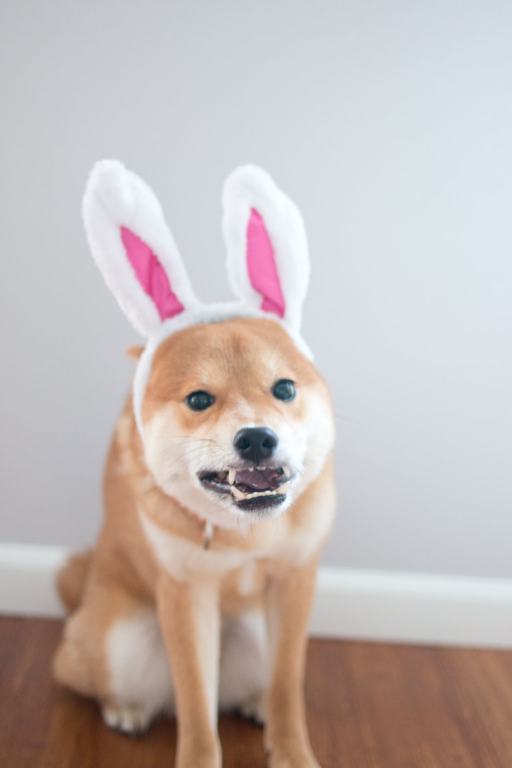 Shiba Inu in Rabbit Ears // Easter Bunny Funny Photo // Hello Rigby Seattle Pet & Lifestyle Blog