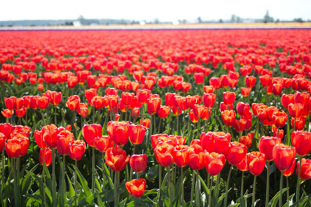 Skagit Valley Tulip Festival Roozengaarde // Hello Rigby Seattle Fashion & Style Blog